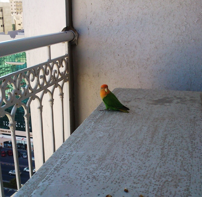 Emerald Lorikeet also known as the orange billed Lorikeet - my guest!